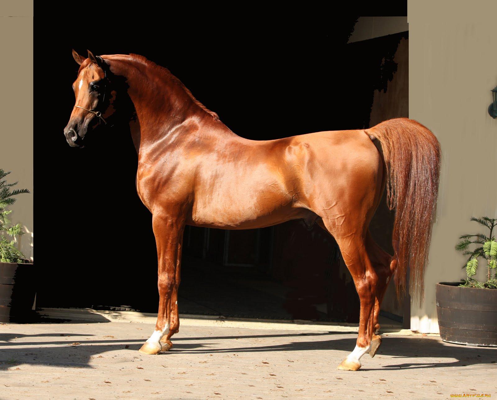Картинки с красивыми элитными лошадями